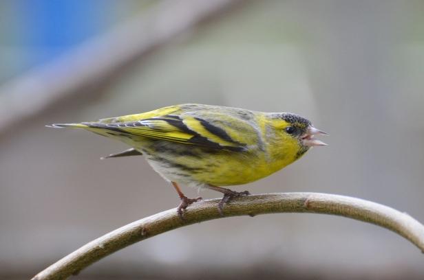 uccellino giallo e nero detto lucherino