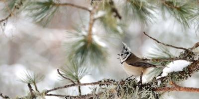 uccellino marrone con ciuffo cincia neve